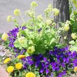 菜の花とヴィオラの寄せ植え