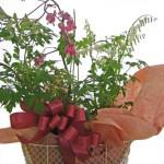 ケマンソウ鉢植えセット