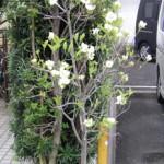 鉢植えのハナミズキ