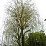 冬の頃の枝垂れ柳
