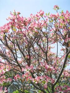 5月4日の誕生花「花水木(ハナミズキ)」