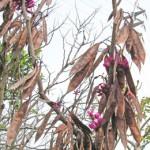 花蘇芳(ハナズオウ)の種