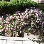 プランターの沈丁花