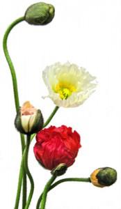 2月12日の誕生花