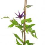 5月3日の誕生花「クレマチス」