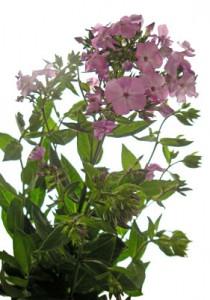 5月2日の誕生花「フロックス」