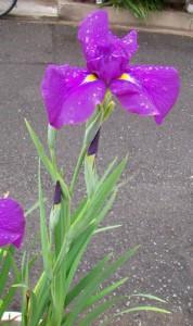 5月5日の誕生花「花菖蒲(ハナショウブ)」