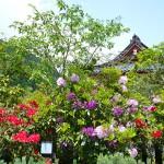 勝尾寺の石楠花