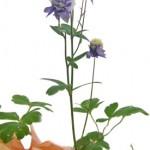 オダマキの鉢植えギフト