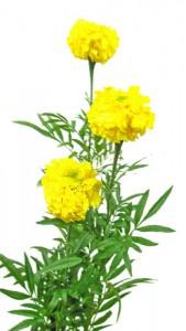 6月5日の誕生花