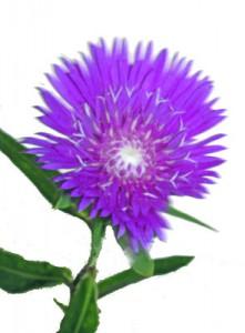 7月4日の誕生花