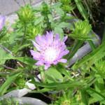 淡紫のストケシア