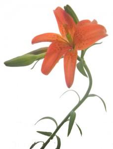 7月1日の誕生花