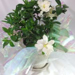 梔子の鉢植えギフト