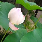 7月23日の誕生花