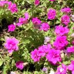 八重咲のペチュニア