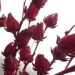 紅葵(ローゼル)