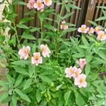 鉢植えのアルストロメリア