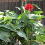 カンナの鉢植え