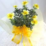 ウインターコスモスの鉢植えギフト