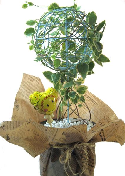 ツルニチニチソウの鉢植えギフト