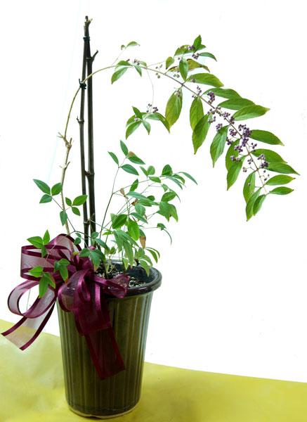 紫式部の鉢植えギフト