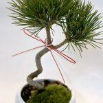 三河黒松の盆栽ギフト