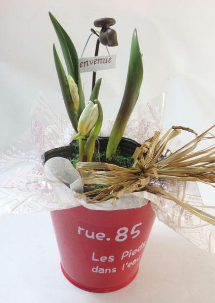 チューリップ原種の鉢植えギフト