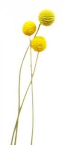 11月11日の誕生花