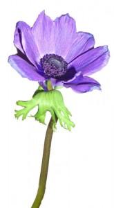 1月10日の誕生花