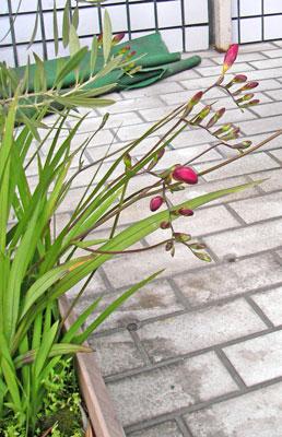 鉢植えのフリージア