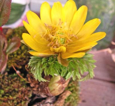 1月1日の誕生花