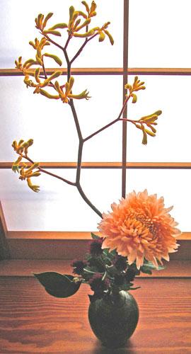 カンガルーポーと菊(シルキーガール)
