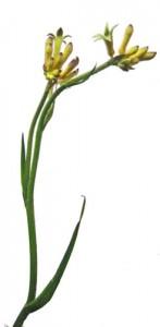 12月4日の誕生花