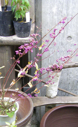 鉢植えの紫式部