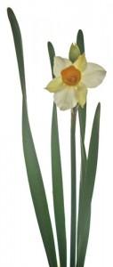 1月2日の誕生花