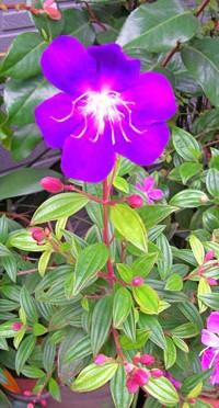 紫紺野牡丹(シコンノボタン)