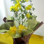 黄梅の鉢植えギフト
