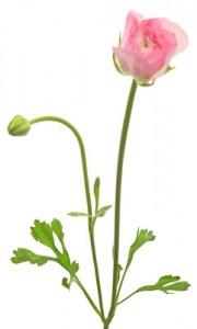 1月31日の誕生花「ラナンキュラス」