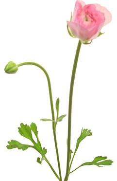 1月31日の誕生花