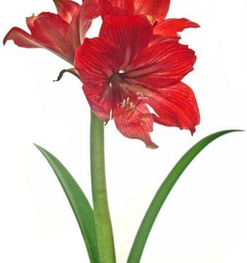 1月20日の誕生花