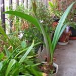 鉢植えアマリリス
