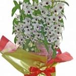 デンドロビウムの鉢植えギフト