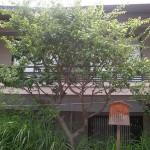 生田神社の「えびらの梅」