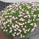 鉢植えのマーガレット