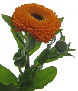 2月13日の誕生花