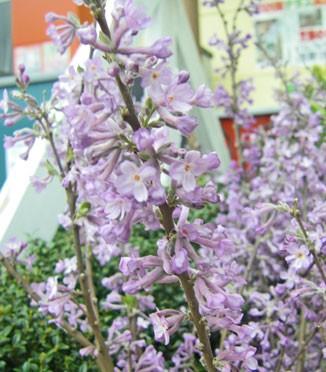 4月12日の誕生花