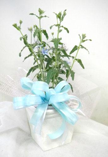 ブルースターの鉢植えギフト