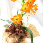 オーニソガラムの鉢植えギフト
