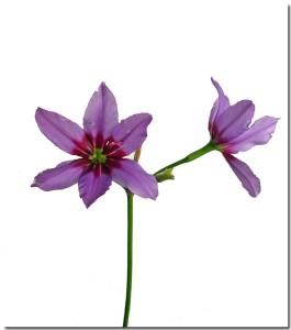 2月17日の誕生花